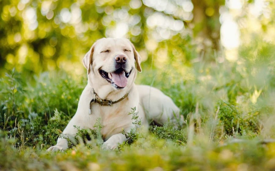 Axl is an Adoptable Labrador with Catahoula Rescue
