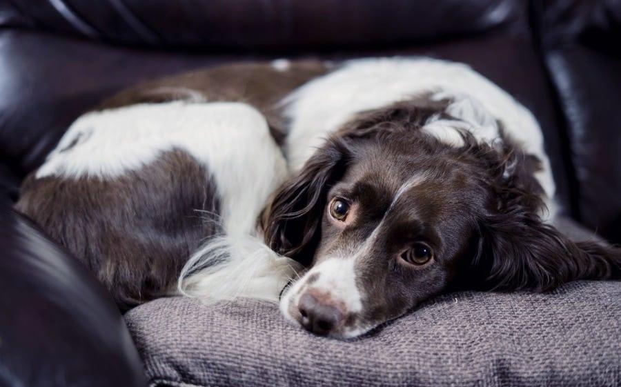 Bobby is an Adoptable Dog with Hopeful Hearts