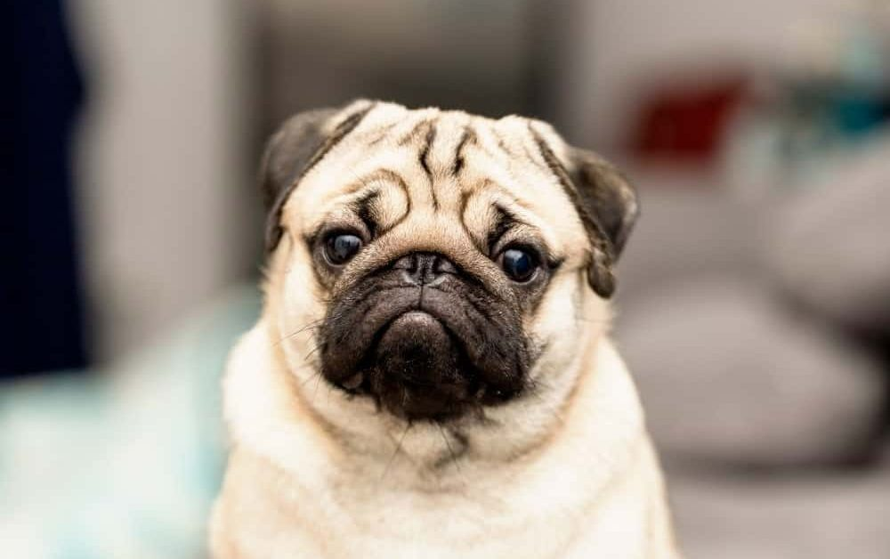 Feature Rescue: Pugalug Pug Rescue