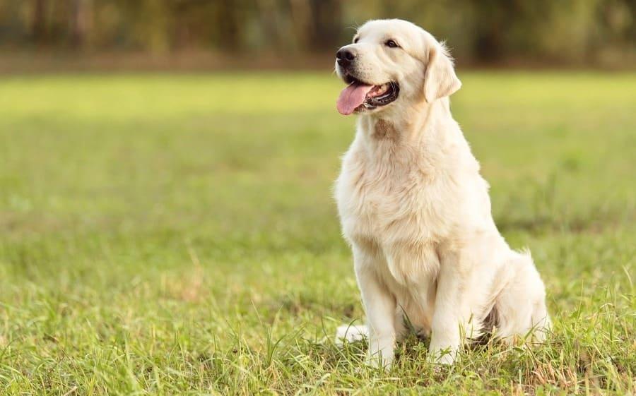 Golden Retriever Evan is an Ottawa Rescue Dog too!