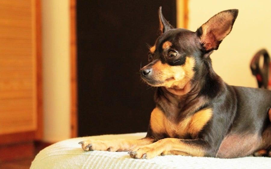 Milo is a Miniature Pinscher with Minpinerie