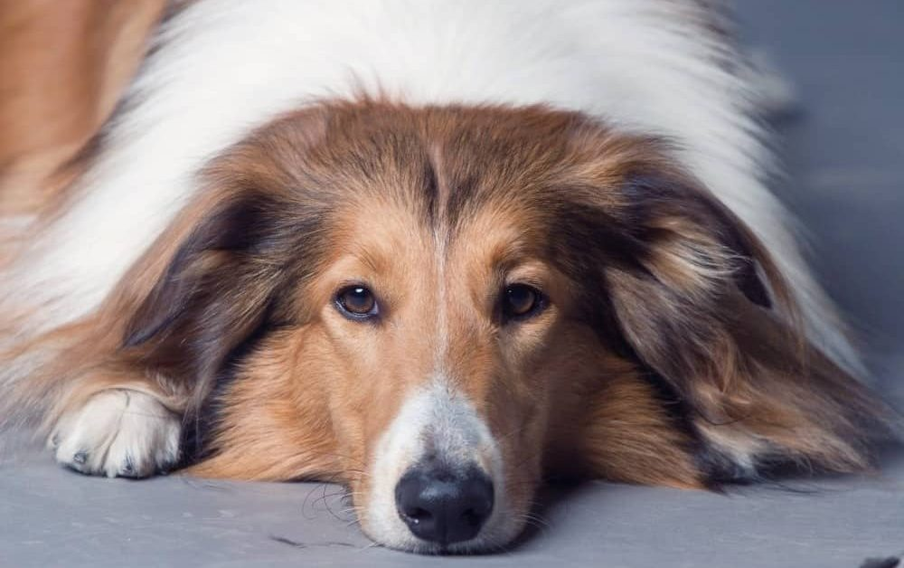 Top 10 Reasons Rough Collies Rock – Collie Rescue Network Edition