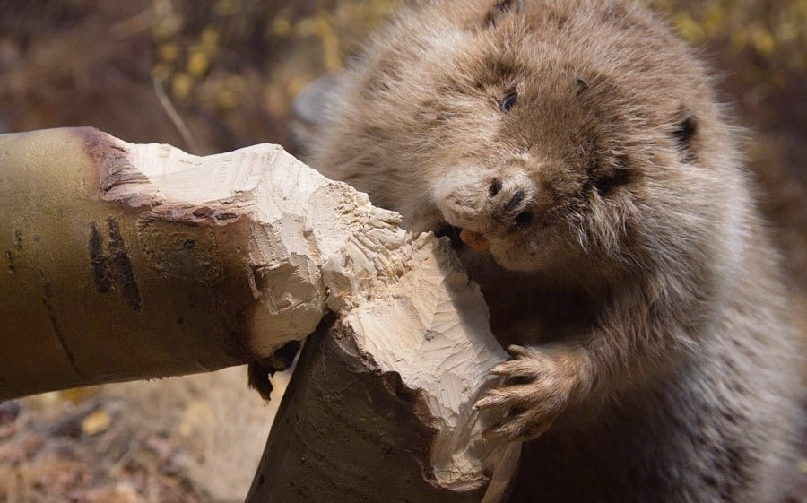 What's this beaver doing here?