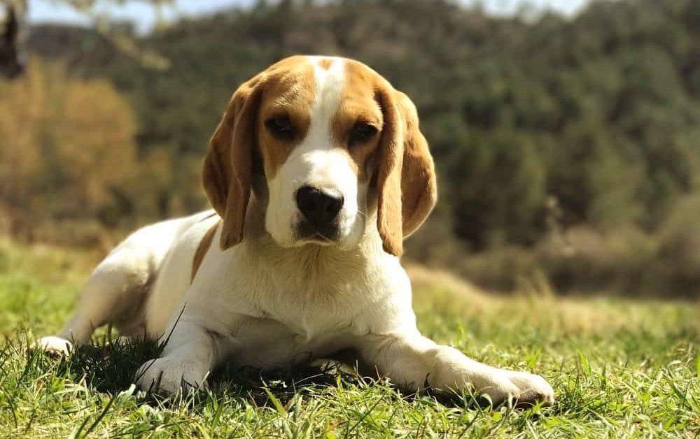 2016 Big On Beagles Calendar Drive