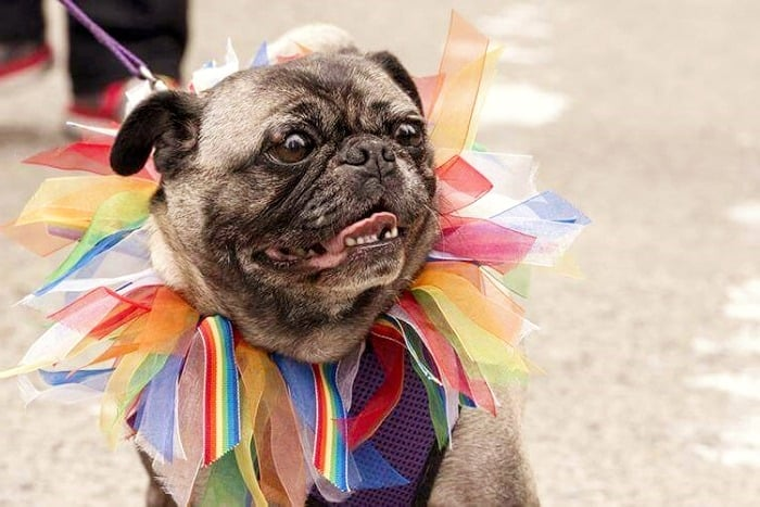 Photos from 2013 Howl-o-ween Pug Event!