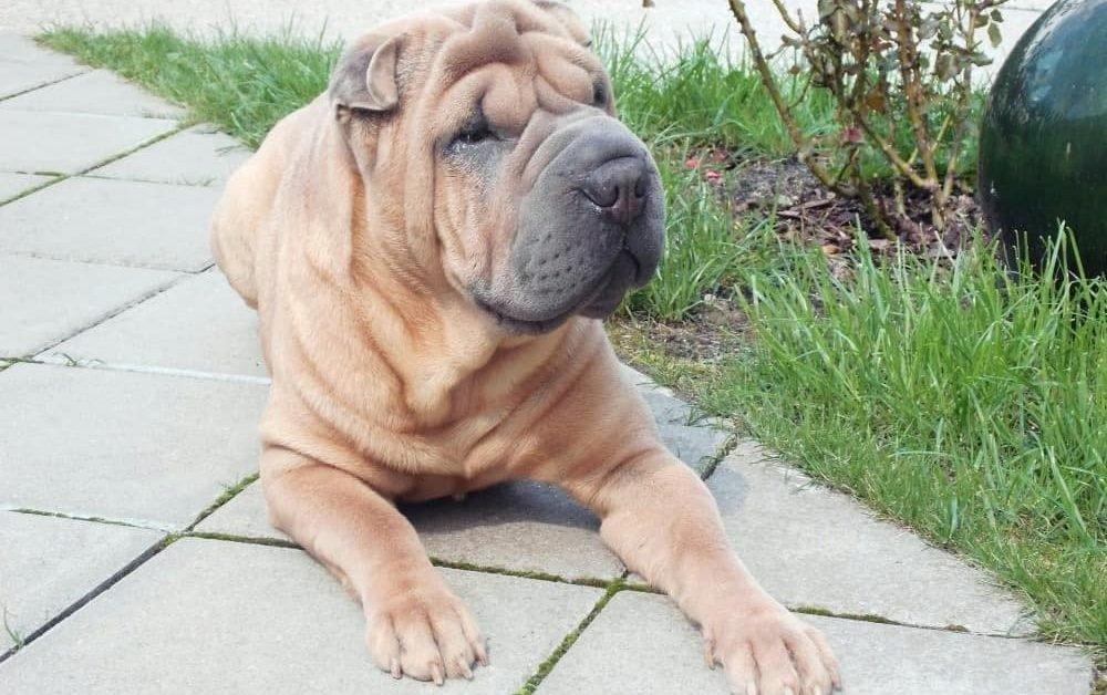 Ba-Shar Dog, A Hybrid Shar Pei Basset Hound Mix