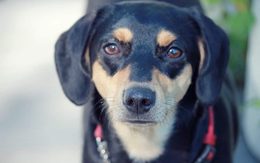 Lab Beagle Mix Lucy is a Foster Dog Available for Adoption